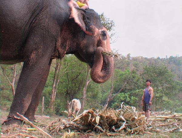 mehr als 100kg tägliches Essen - Arbeitselefant in Thailands Norden