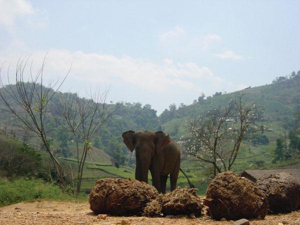 Was rein muss geht raus - frischer Elefantenkot riecht nicht so übel wie er aussieh