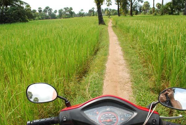 Reisfelder ohne Ende. Der Reis steht hoch.