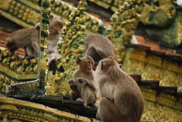 Sianoukville - Die Tempelaffen von Wat Loen